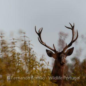 Male Red Deer (Cervus elaphus)