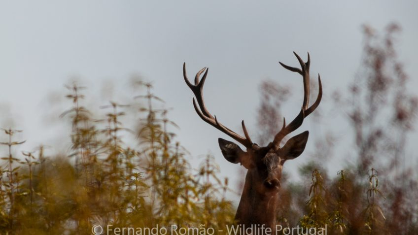 Male Red Deer (Cervus elaphus)